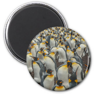 King penguin colony, Falklands 2 Inch Round Magnet