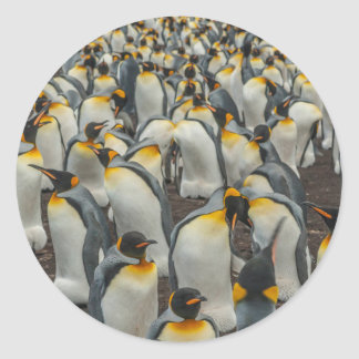 King penguin colony, Falklands Classic Round Sticker