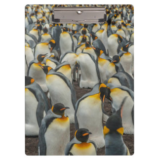 King penguin colony, Falklands Clipboard