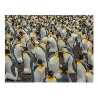 King penguin colony, Falklands Postcard