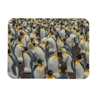 King penguin colony, Falklands Rectangular Photo Magnet