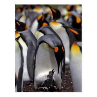 King Penguin with Chick Postcard