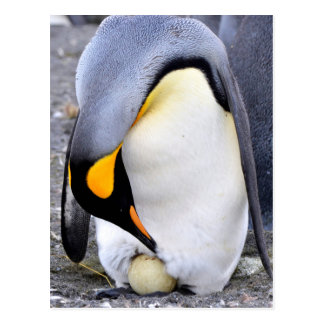 King Penguin with Egg Postcard