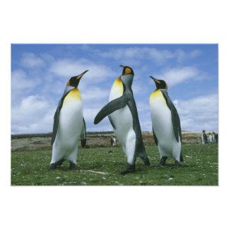 King Penguins, Aptenodytes patagonicus), Art Photo