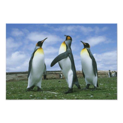King Penguins, Aptenodytes patagonicus), Photo