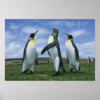 King Penguins, Aptenodytes patagonicus), Poster