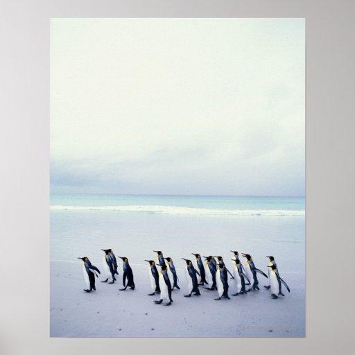 King penguins (Aptenodytes patagonicus) Posters