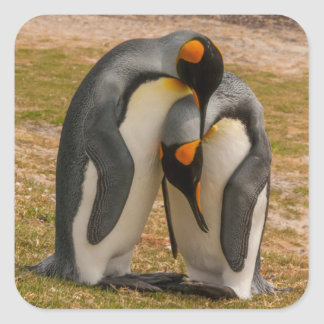 King penguins caressing, Falkland Square Sticker