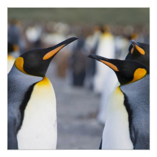 King Penguins Perfect Poster