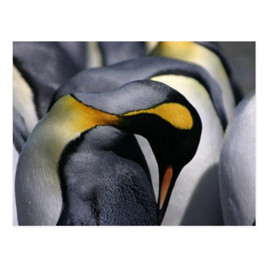 King Penguins - Postcard