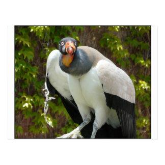 king vulture postcard