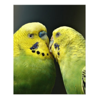 Kissing Budgie Parrot Flyer