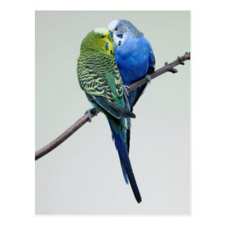 Kissing Budgies Postcard