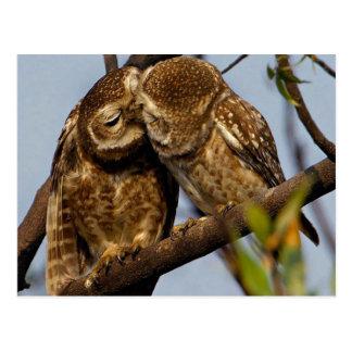 Kissing Owls Postcard