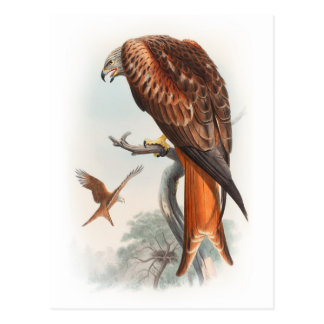Kite Glead Hawk John Gould Birds of Great Britain Postcard