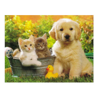 Kitten & Golden Retriever Puppy Dog Blank Postcard