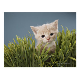 Kitten in grass postcard