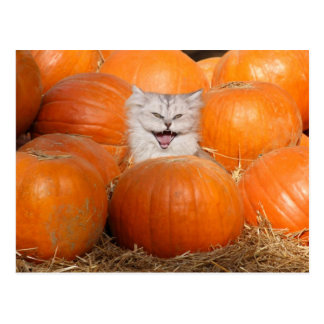 Kitten in pumpkins postcard