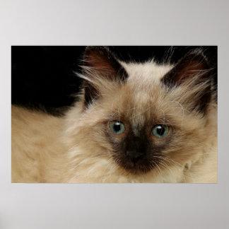 Kitten Long Hair 2 Poster