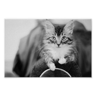 Kitten on Chair Poster