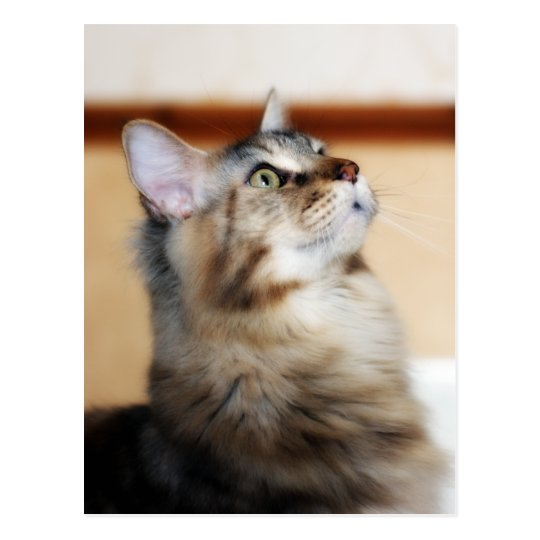 Kitten Post Card - Maine Coon Cat