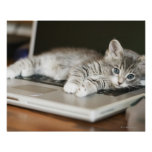 Kitten resting on laptop computer posters