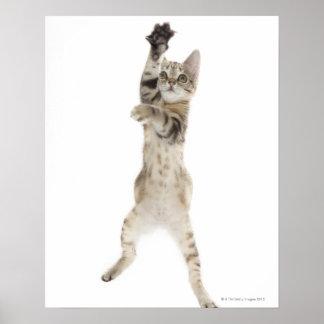 Kitten standing on back paws poster