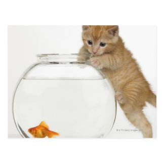 Kitten trying to get at a goldfish postcard