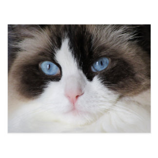 Kitty Cat Blue Eyed Darling Postcard