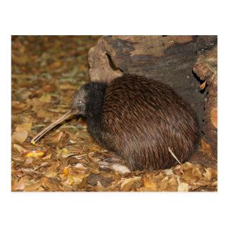 Kiwi Cool @ Auckland Zoo Postcard