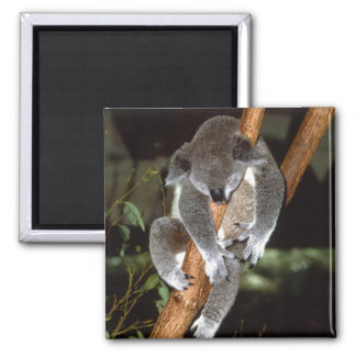 koala1 magnet