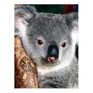 Koala Bear Australia Outback Country Animal Cute Postcard