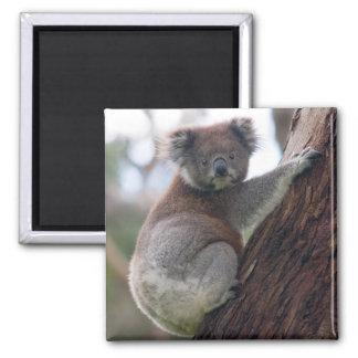 Koala Bear Fridge Magnet