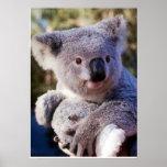Koala Bear Holding A Koala Bear Poster
