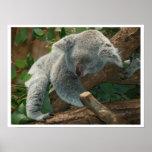 Koala Bear Sleeping Posters