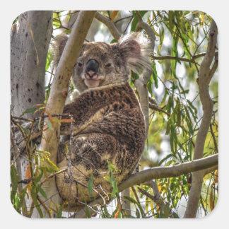 KOALA IN A TREE RURAL QUEENSLAND AUSTRALIA SQUARE STICKER
