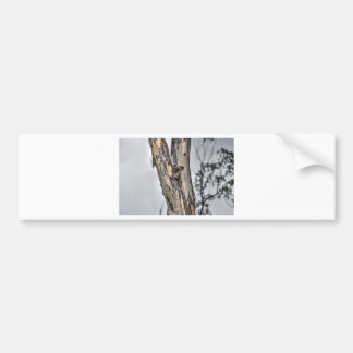 KOALA IN TREE AUSTRALIA ART EFFECTS BUMPER STICKER