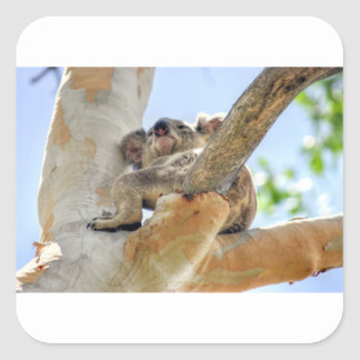 KOALA IN TREE QUEENSLAND AUSTRALIA SQUARE STICKER