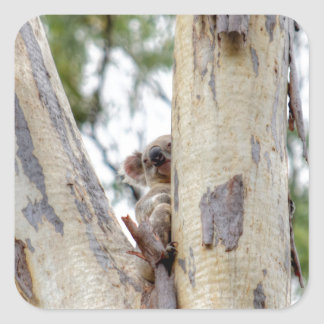 KOALA IN TREE QUEENSLAND AUSTRALIA SQUARE STICKER