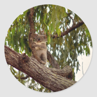 KOALA IN TREE RURAL QUEENSLAND AUSTRALIA CLASSIC ROUND STICKER