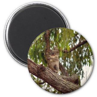KOALA IN TREE RURAL QUEENSLAND AUSTRALIA MAGNET