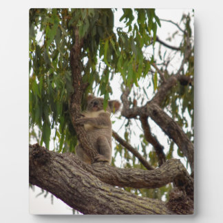 KOALA IN TREE RURAL QUEENSLAND AUSTRALIA PLAQUE