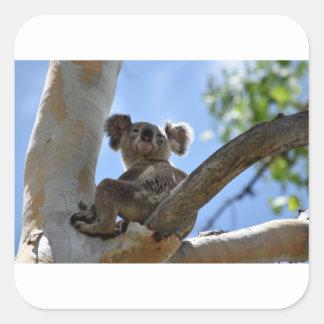 KOALA IN TREE RURAL QUEENSLAND AUSTRALIA SQUARE STICKER