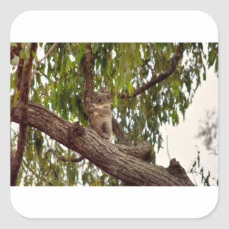 KOALA IN TREE RURAL QUEENSLAND AUSTRALIA SQUARE STICKER