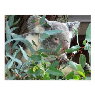 Koala Photography Postcard