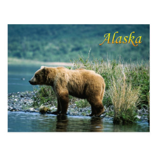 Kodiak brown bear, Alaska Postcard
