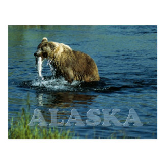 Kodiak brown bear fishing in Alaska Postcard