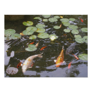 Koi in a Pond Poster