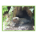 Komodo Dragon Coming Out Of His Home Under Tree Post Cards