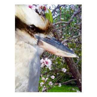 kookaburra_Blossoms,_ Postcard